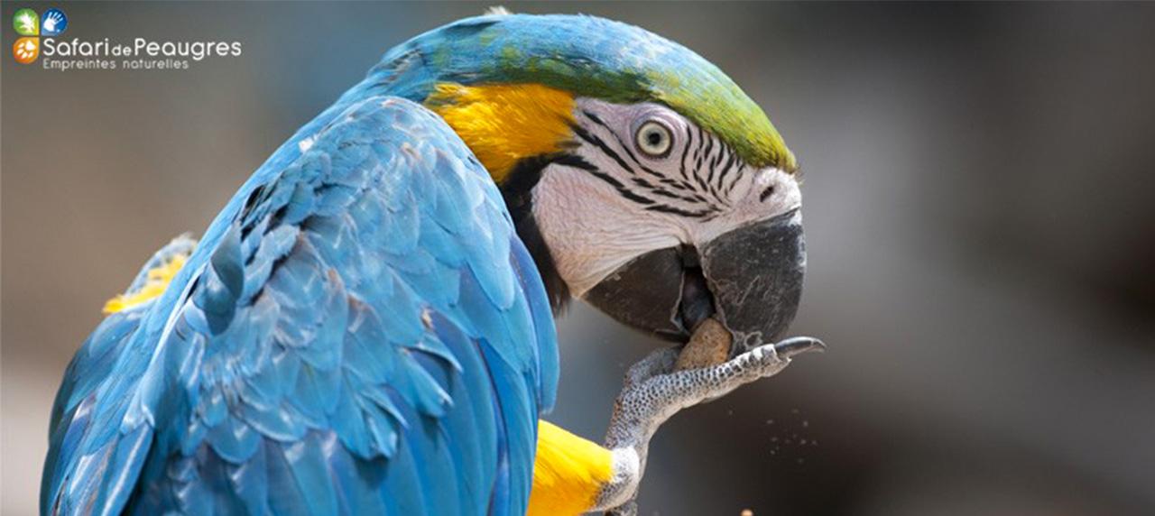Ara Bleu Safari De Peaugres