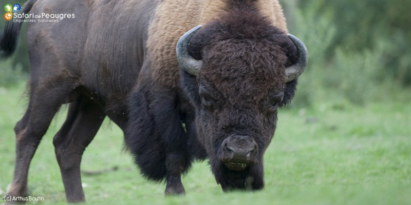 Bison d 39 am rique safari de peaugres - Coloriage bison d amerique ...